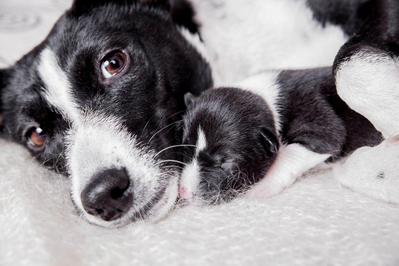 Koiran Synnytys